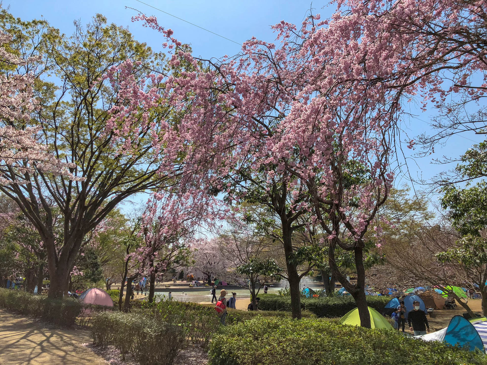 千葉県船橋市の「ふなばしアンデルセン公園」の桜