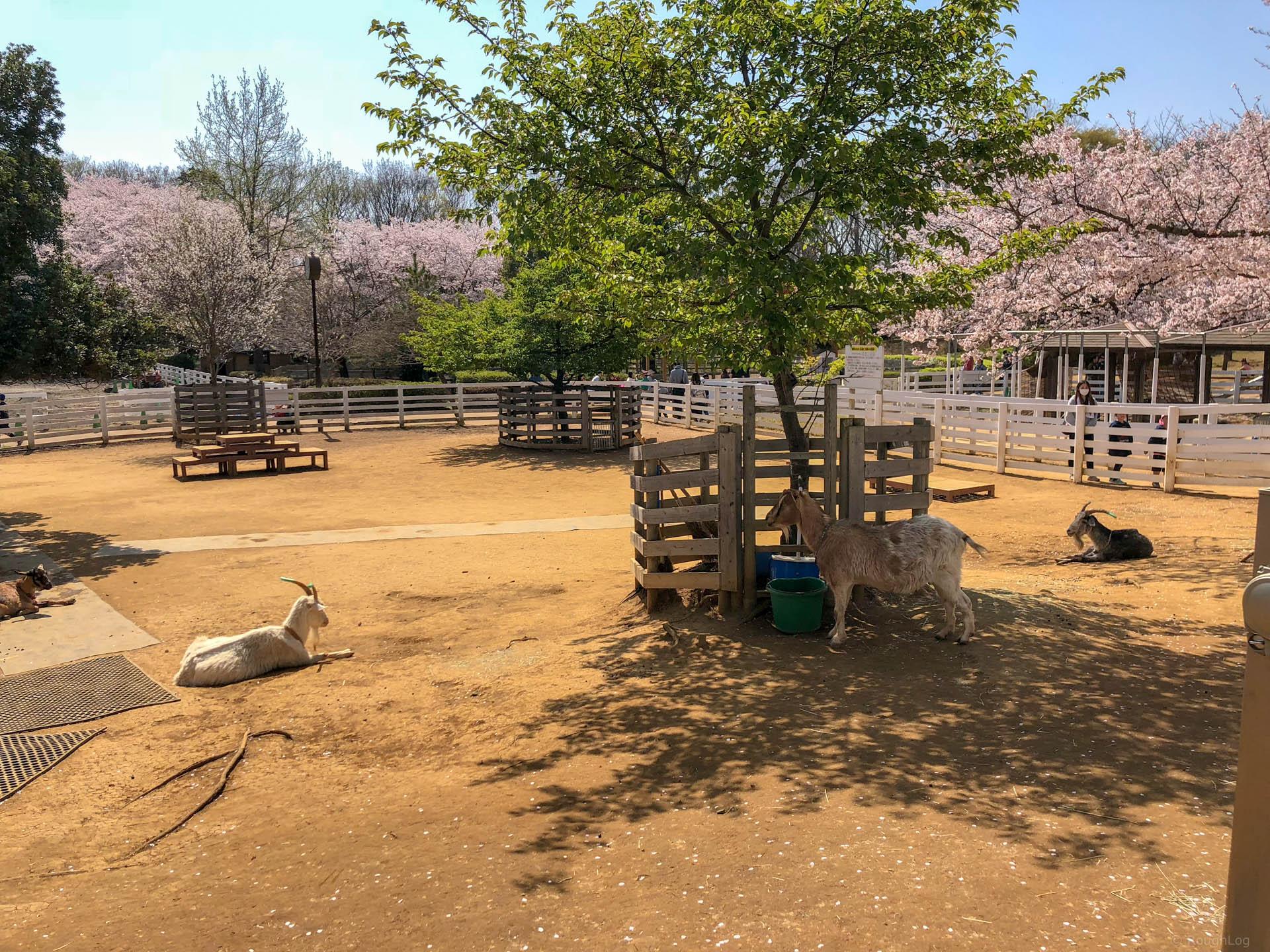 千葉県船橋市の「ふなばしアンデルセン公園」の羊とヤギ