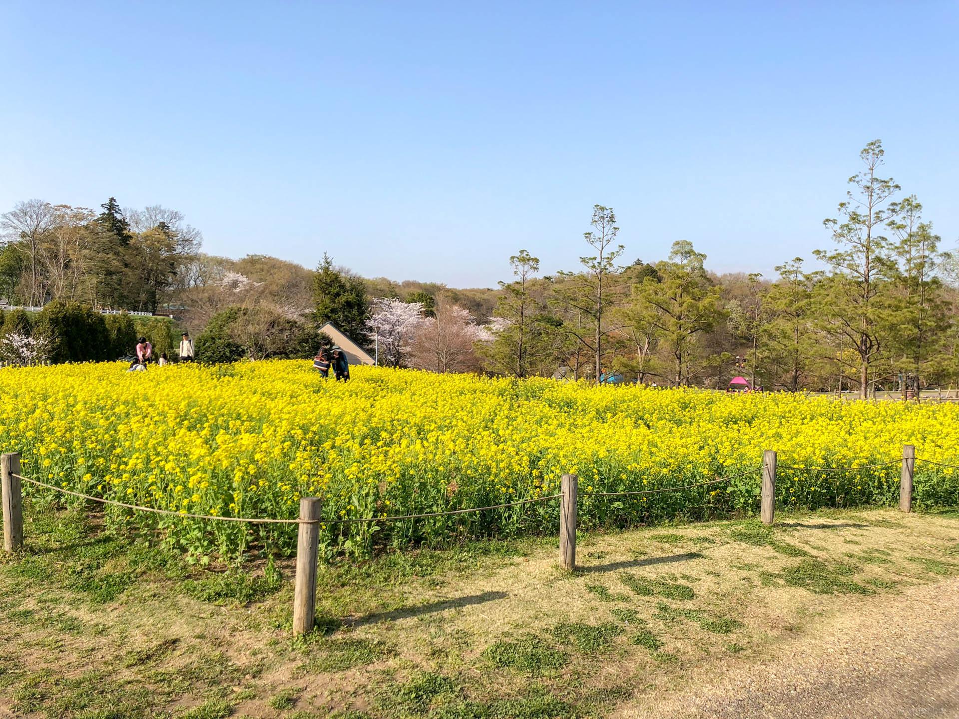 千葉県船橋市の「ふなばしアンデルセン公園」は菜の花畑も綺麗