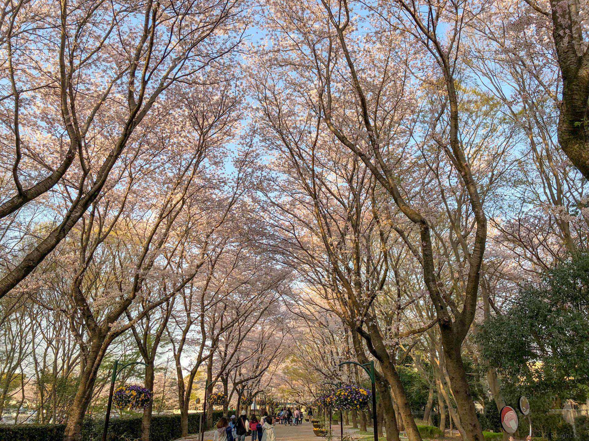 千葉県船橋市の「ふなばしアンデルセン公園」の桜並木道