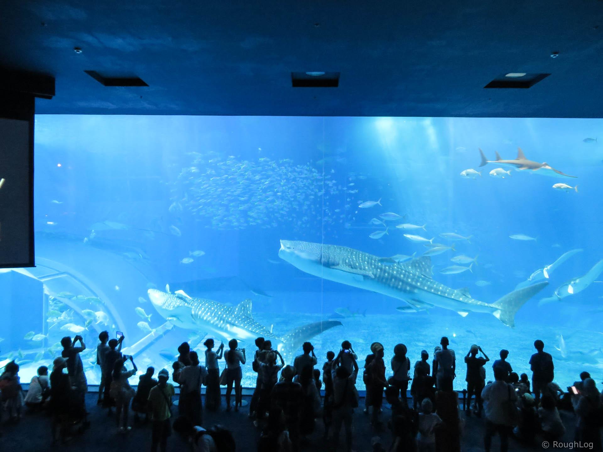 沖縄美ら海水族館のジンベイザメ