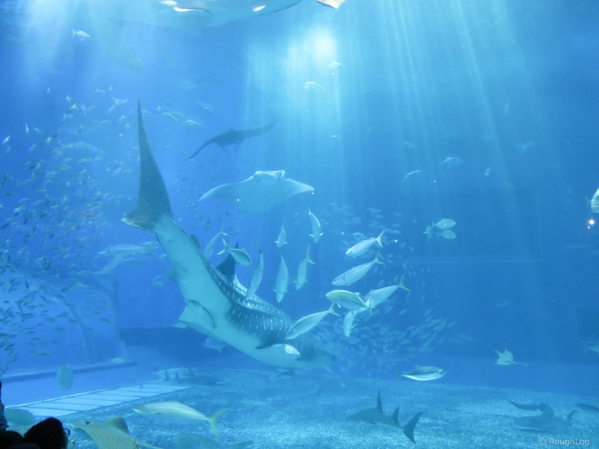 沖縄美ら海水族館のジンベイザメやマンタ