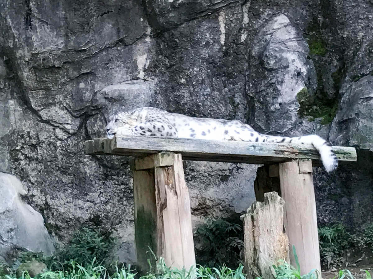 多摩動物公園のユキヒョウ