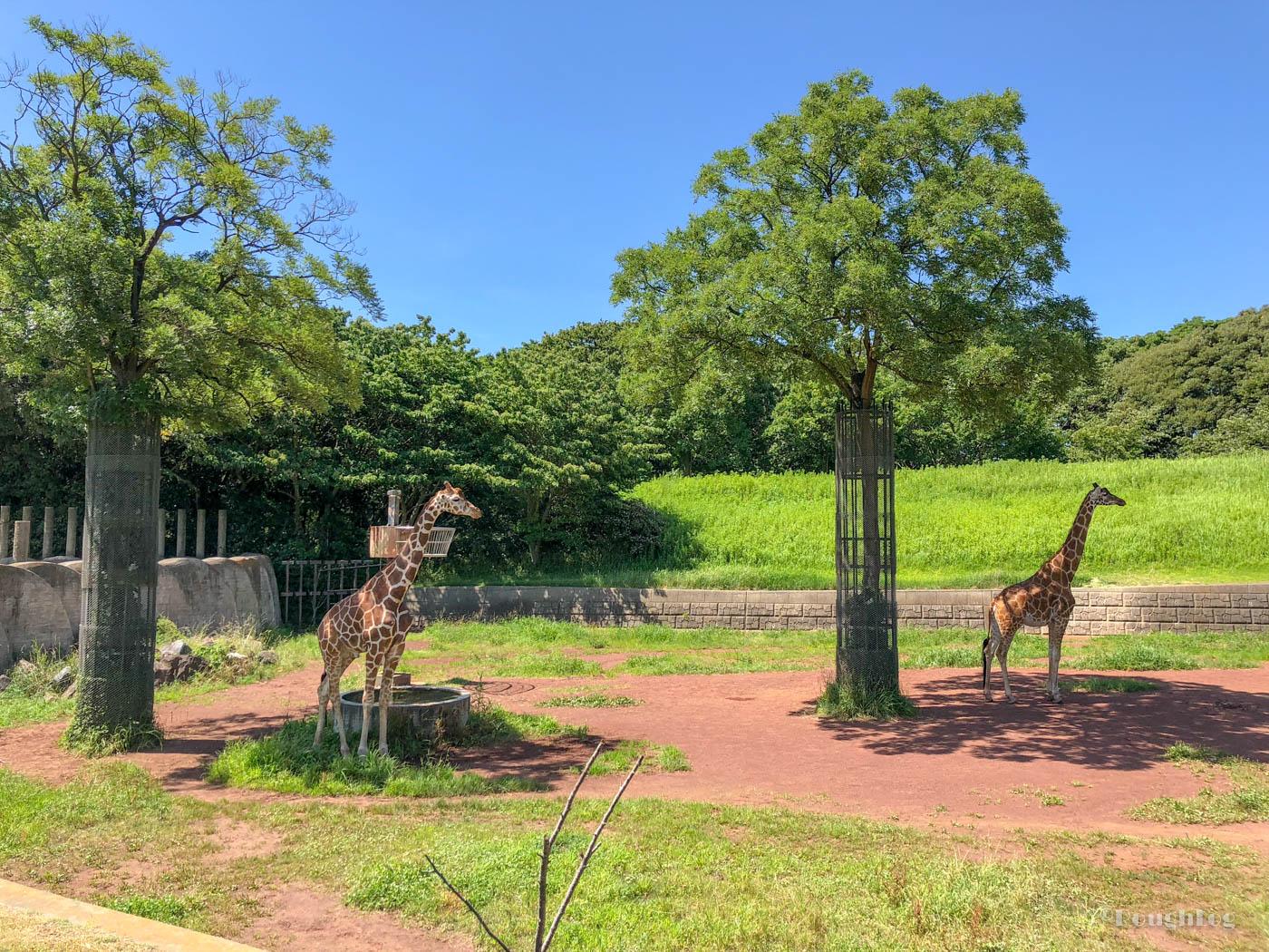 千葉市動物公園の草原ゾーンにいるキリン