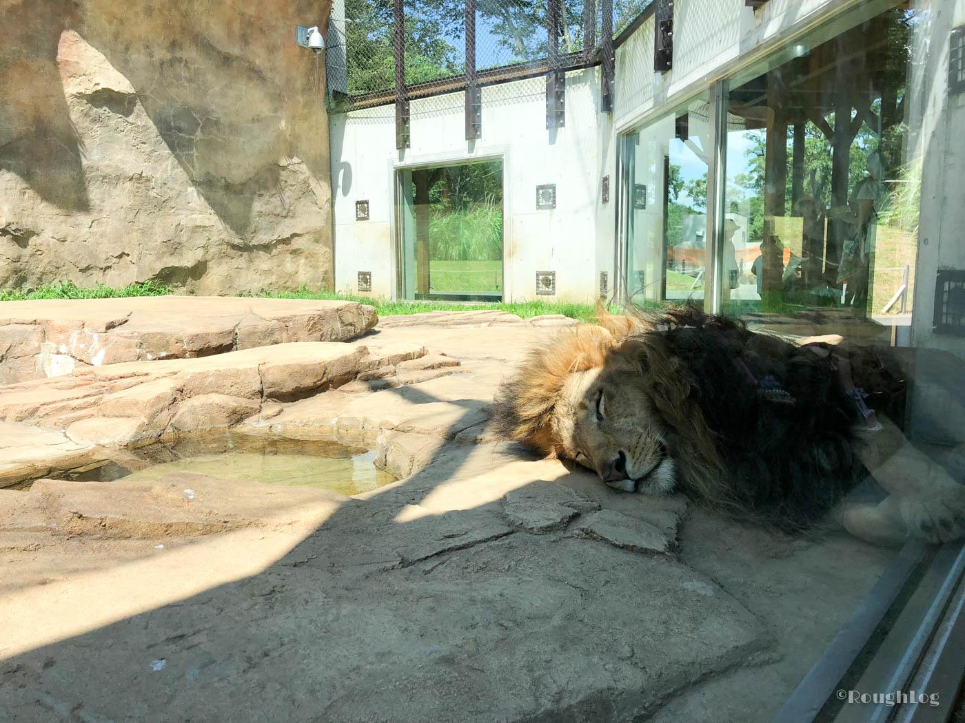 千葉市動物公園のライオン展示場