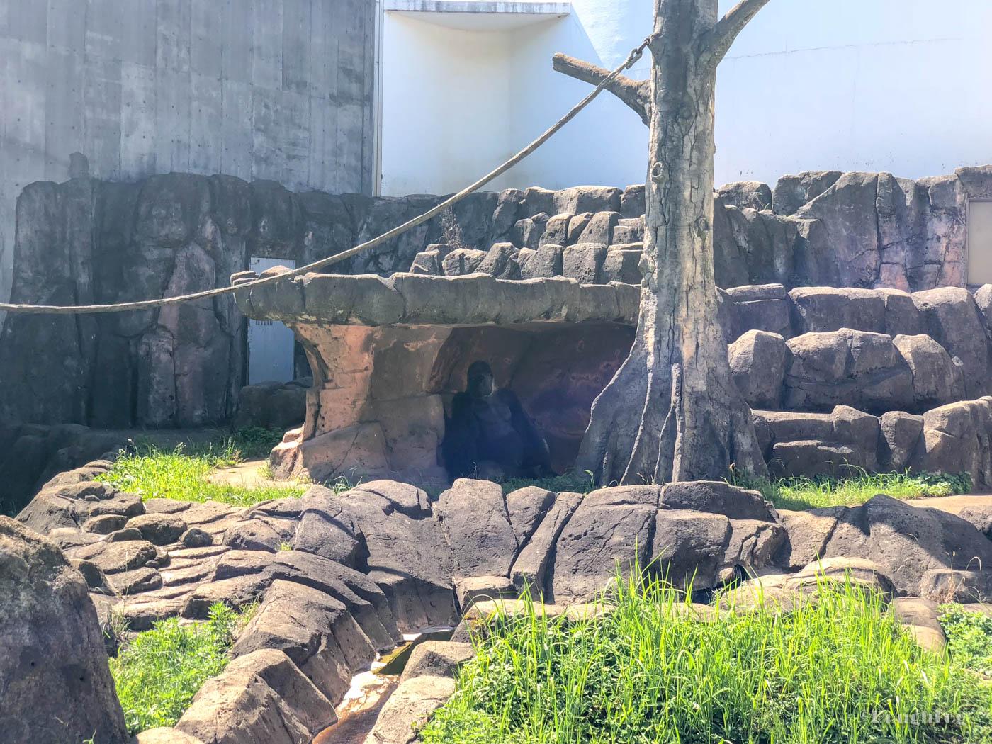 千葉市動物公園のモンキーゾーンにいるゴリラ