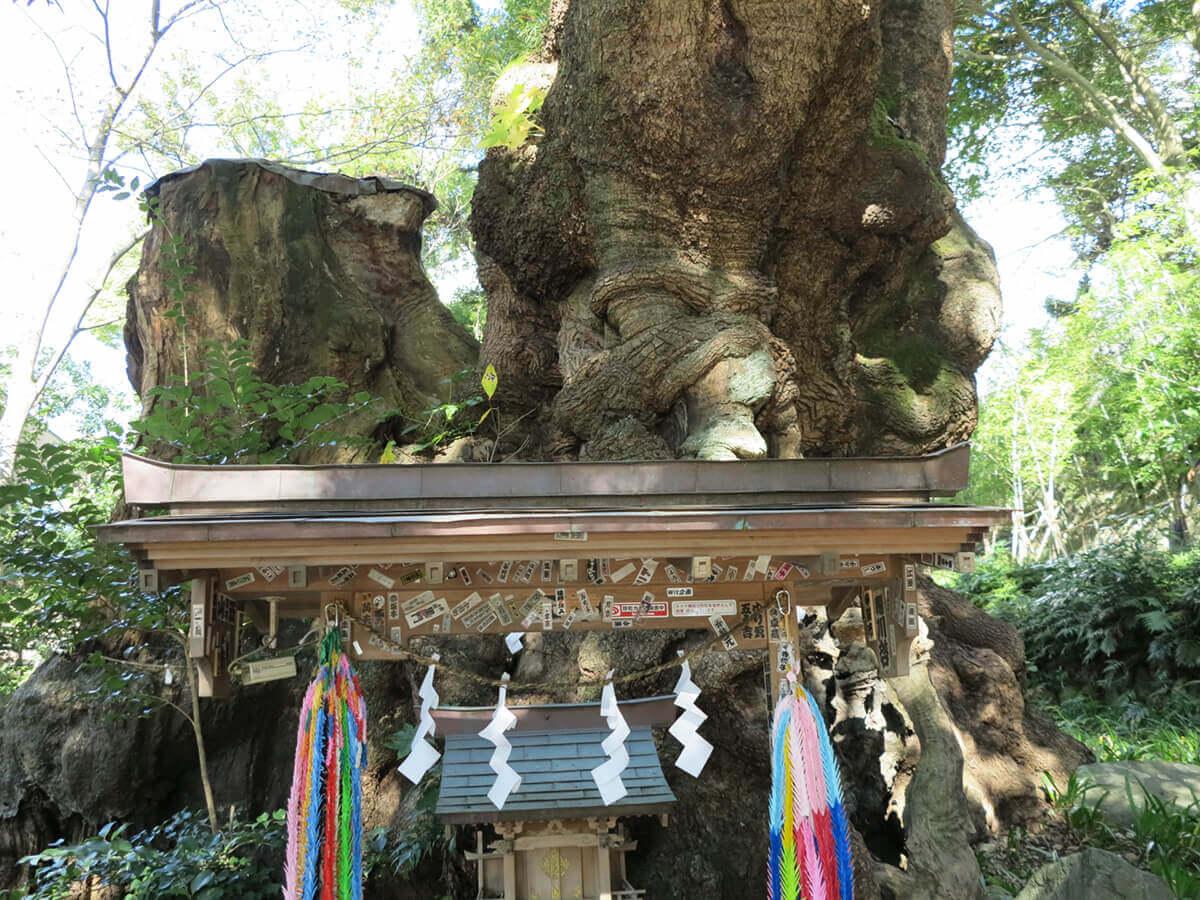 熱海 來宮神社の御神木 第一大楠